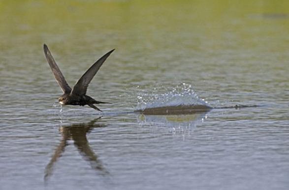 Черный стриж - очень интересная и красивая птица.