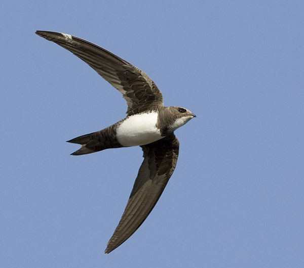 Белобрюхий стриж Alpine Swift (Apus melba), Автор: Kevin Du Rose.