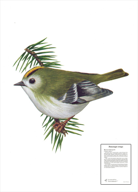 Картинка 7 из презентации Окружающий мир Птицы к урокам окружающего.