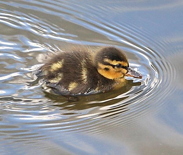 Летний учёт водоплавающих и околоводных птиц в москве.